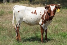 MML DIAMOND REFLECTION HEIFER
